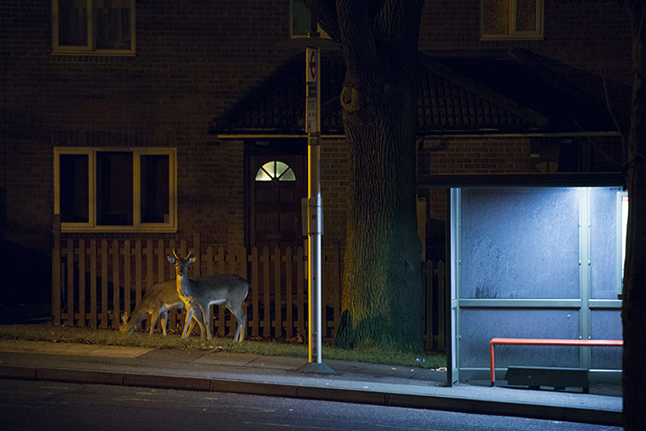 Photographer documents London's urban deer