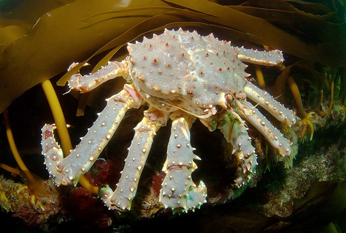 Red King Crab Caught In Action In Barents Sea, Arctic Ocean