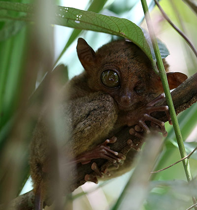 Tarsier are in danger of extinction due to increasing deforestation