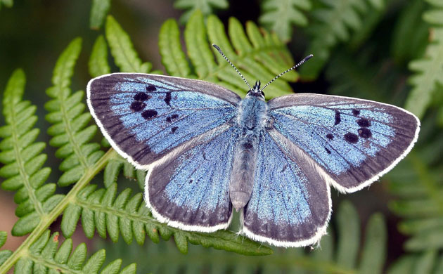 The large blue (Phengaris arion)