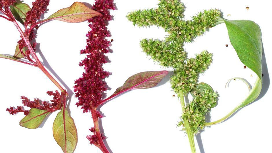 雑草を見直す:アマランサスの真実