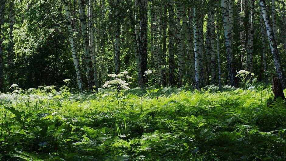 熱波と森林のパラドックス