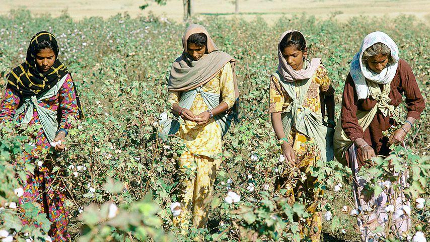 モンサント社の綿花事業における失態