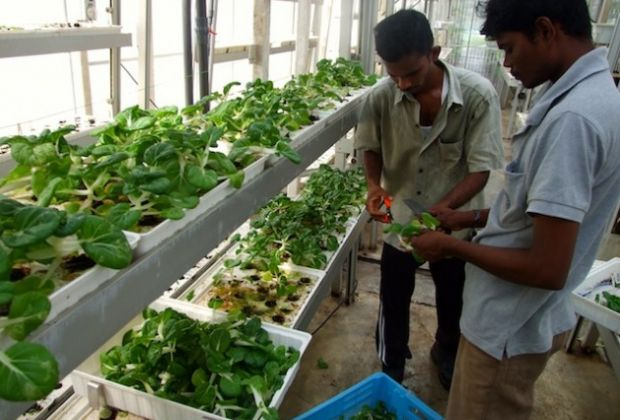 Workers harvesting vegetables from one of Sky Green's vertical towers. Photo: Kalinga Seneviratne/IPS.