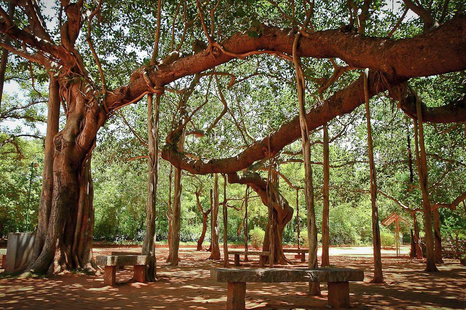 オーロビルにふんだんにあるベンガルボダイジュは生命の象徴だ。写真:ゾリバー