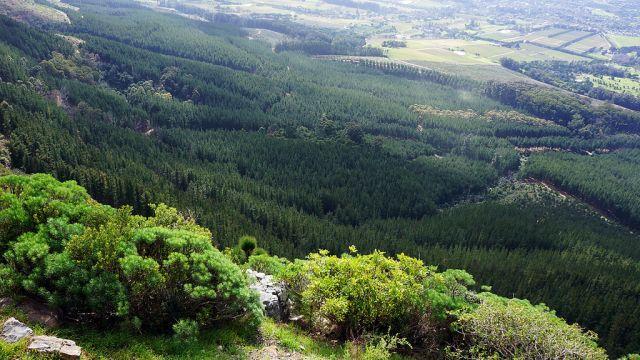 pine-plantation-africa
